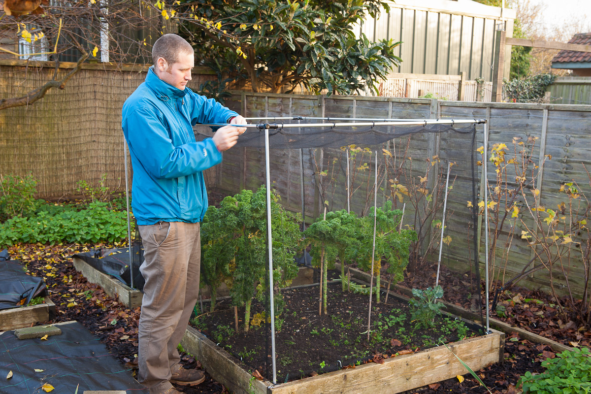 Caption: Brassicas Benefit From Being Protected By Netting To Keep Off  Pigeons In Winter