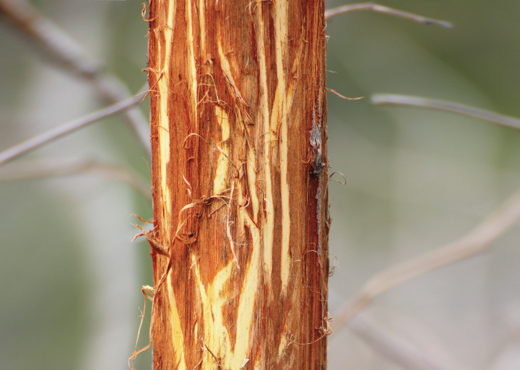Deer_stripped_bark_shutterstock_137759681.jpg