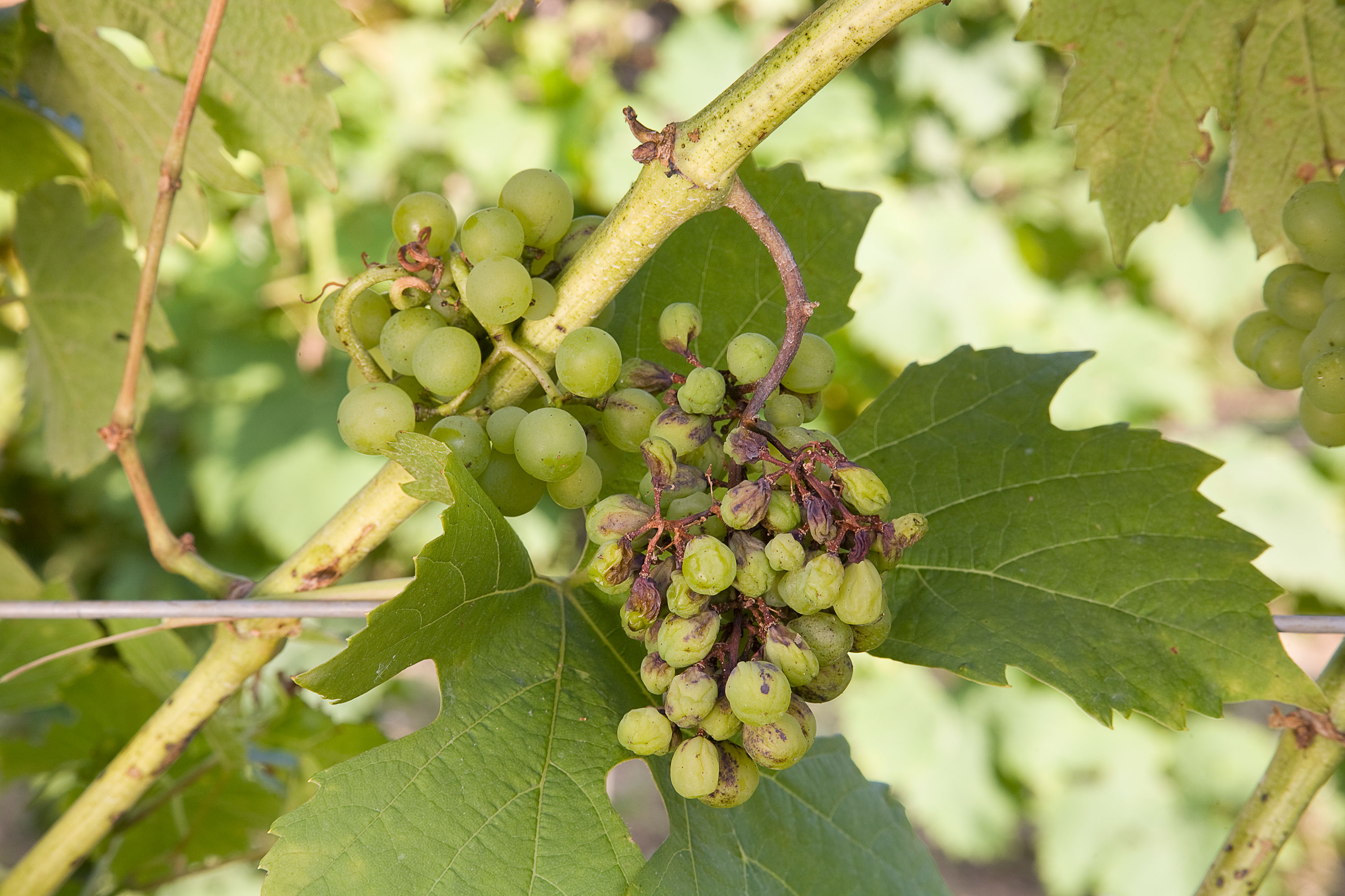 grape-shanking_GettyImages-126016718.jpg