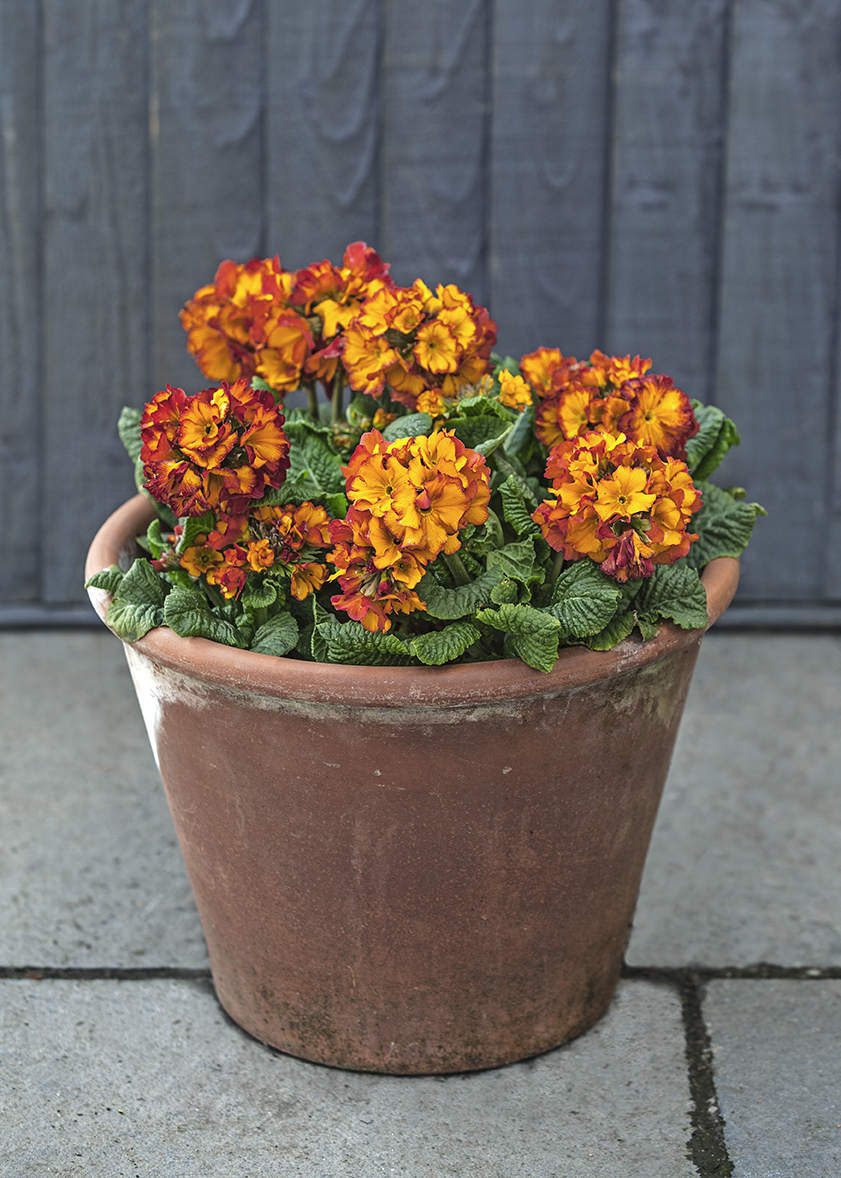 WP33_Primula_Firecracker_DZ1_114009_MARCH2014.jpg