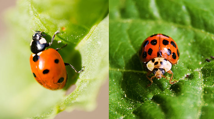 seven_spot_and_harlequin_ladybugs.jpg
