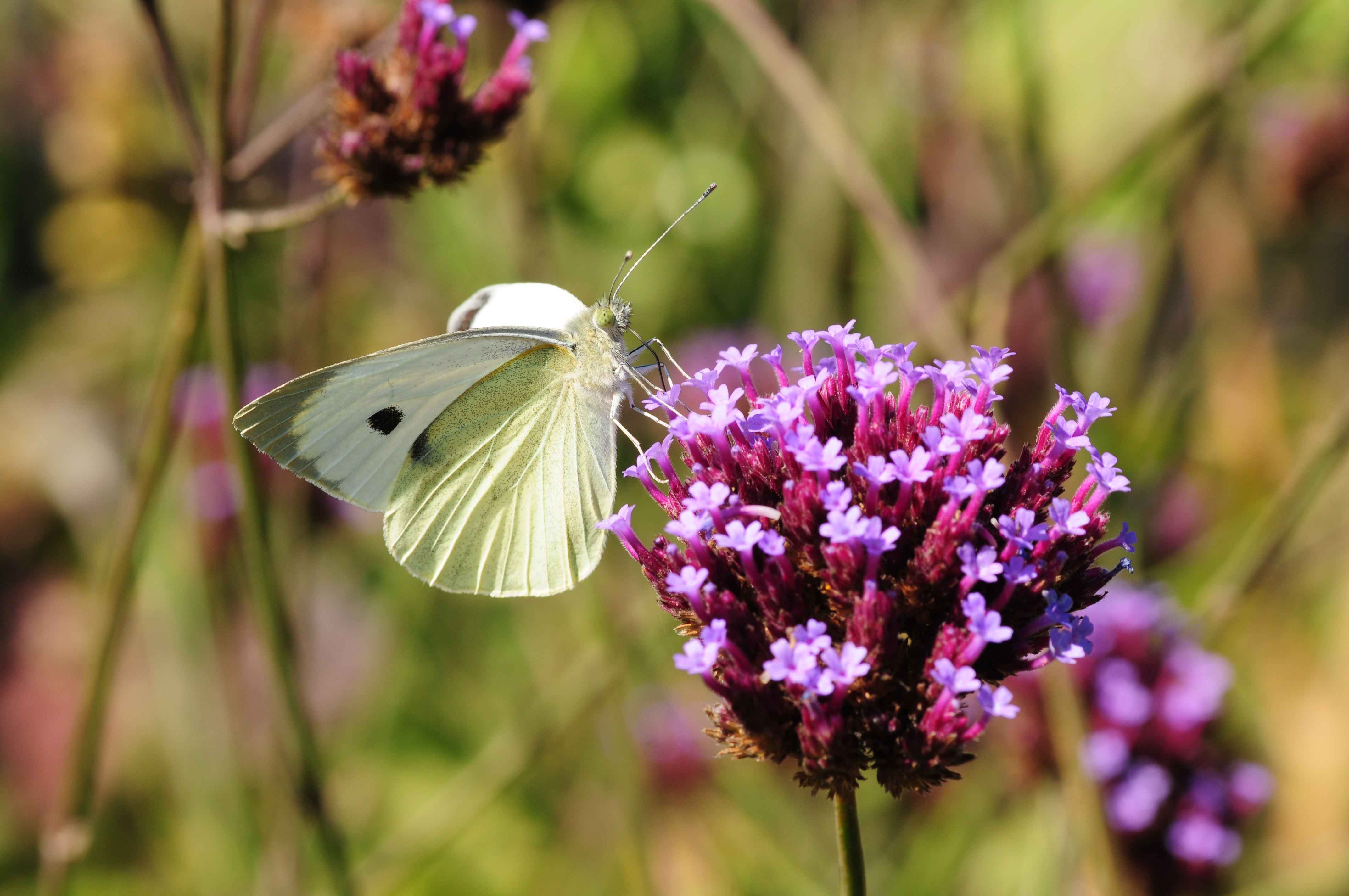 Cabbage_white_butterfly_iStock-186775314.jpg
