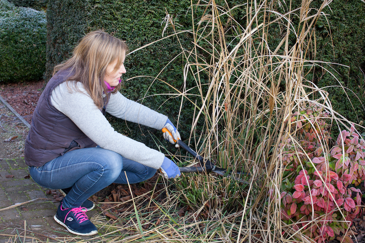 Ornamental Grasses Pruning How to prune ornamental grasses which gardening helpdesk 1701180361g workwithnaturefo