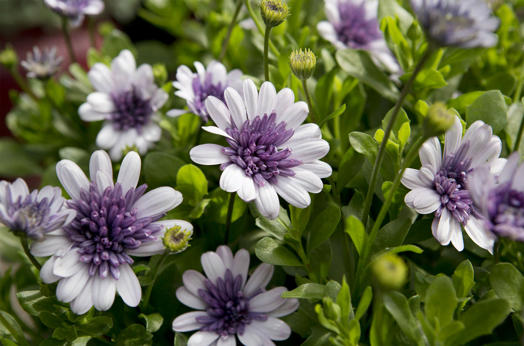 When Which? Gardening Magazine Trialled Different Methods Of Overwintering  Osteospermums This Is The Method That Worked Best For Us: