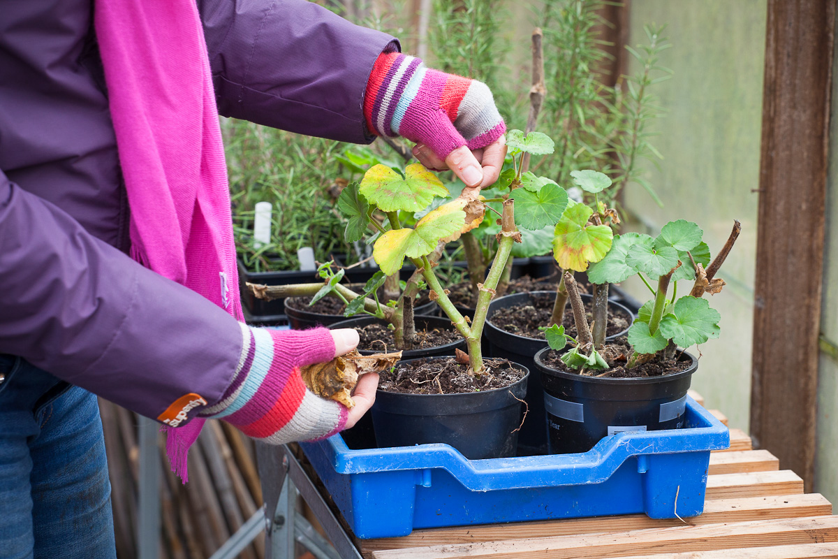 How to overwinter pelargoniums (geraniums) in the UK – Which