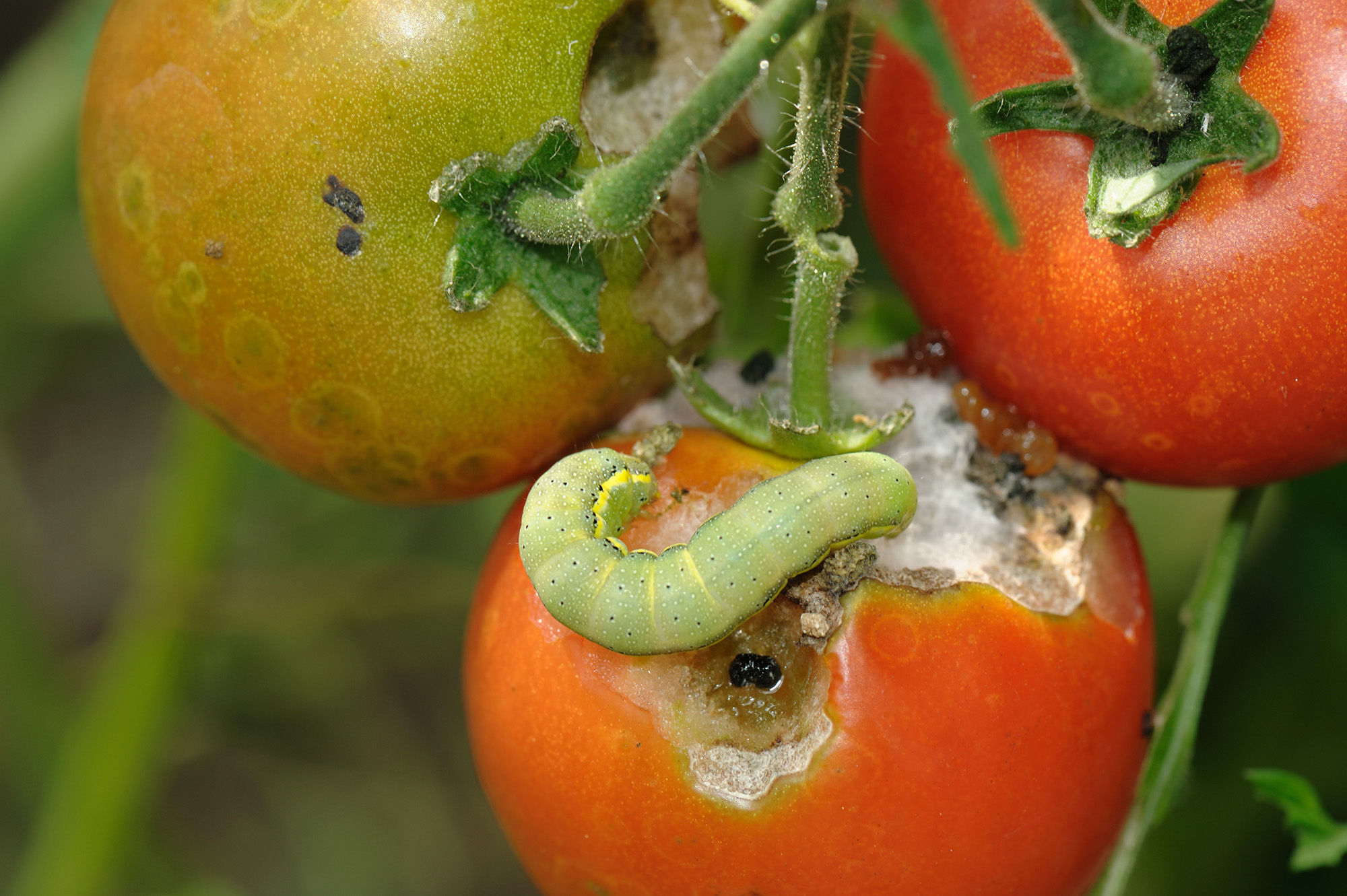 Tomato_moth_BE2NB3.jpg