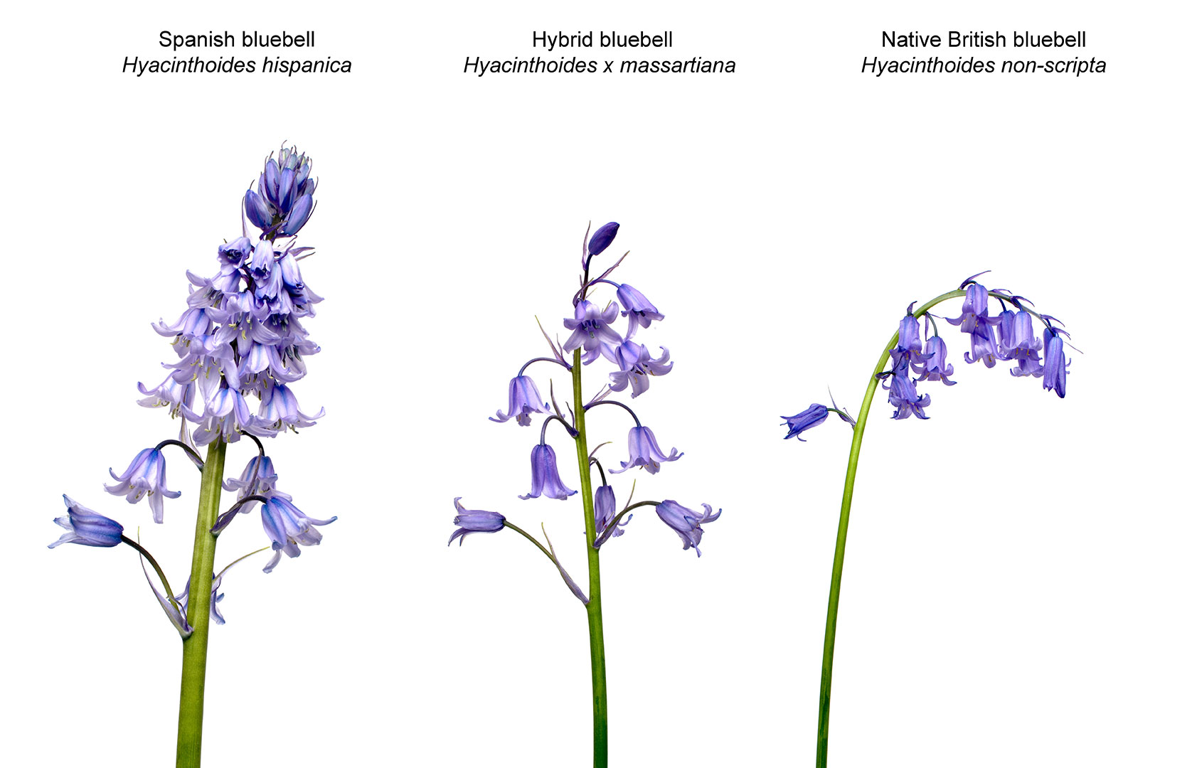 A7HM4X---bluebell-types.jpg
