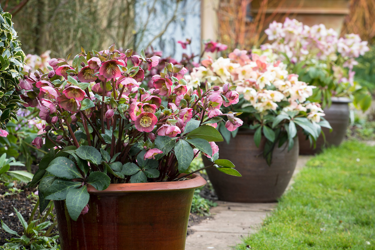 How To Grow Hellebores Which Gardening Helpdesk