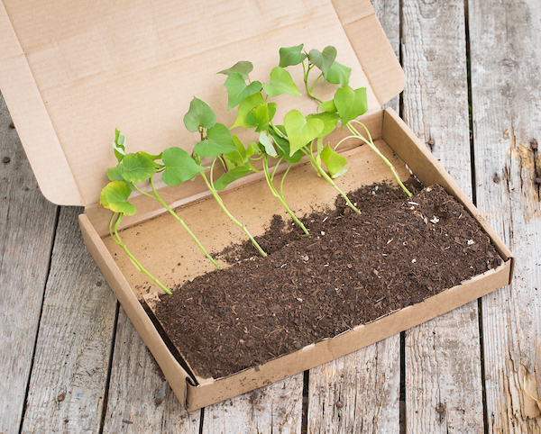 How To Grow Sweet Potatoes Which Gardening Helpdesk