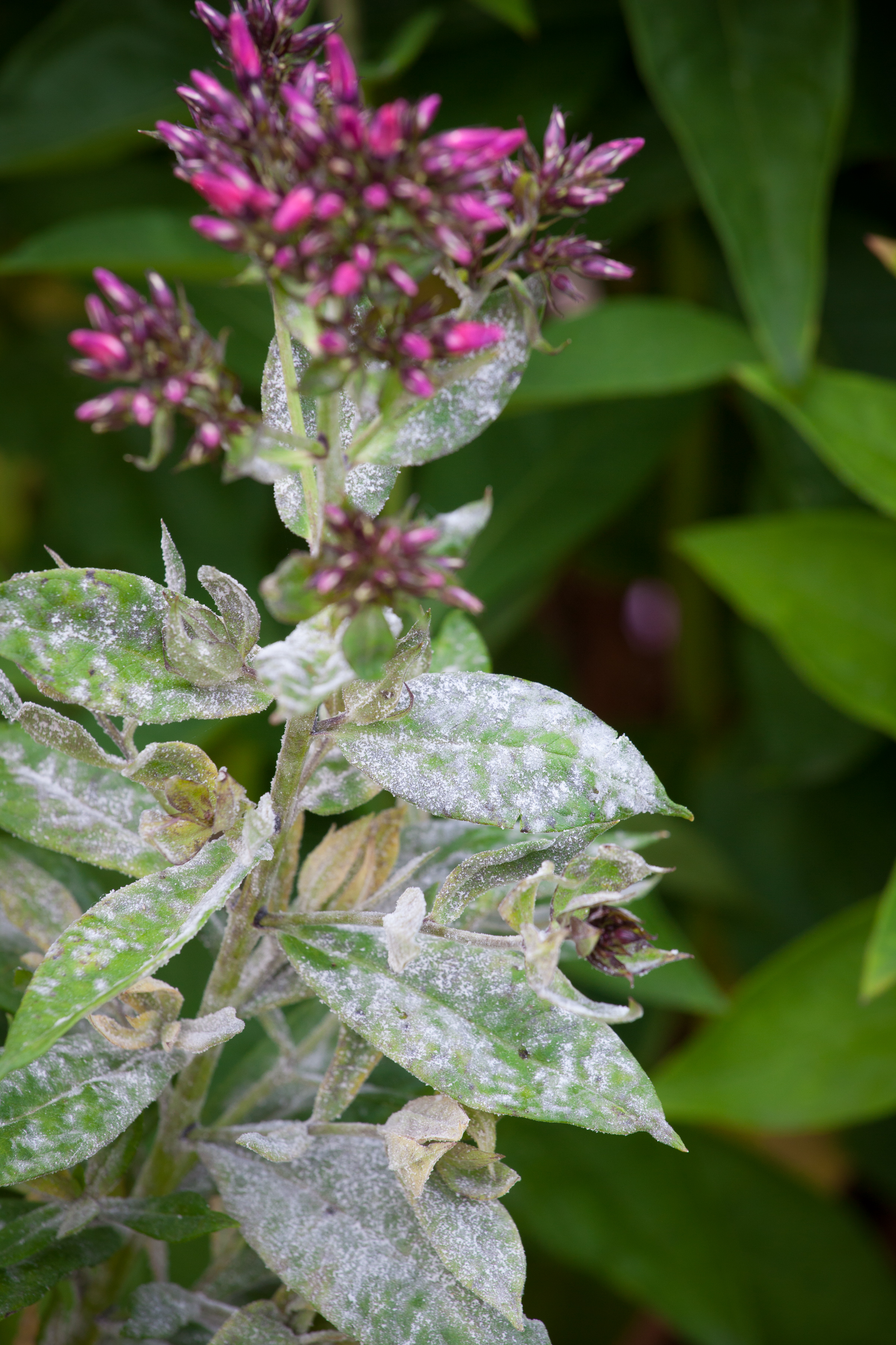 Powdery mildew – Which? Gardening Helpdesk on florida plants with red leaves, house plants with bronze leaves, perennial plants with purple leaves, house plants with small leaves, wandering jew with fuzzy leaves, poisonous plants with purple leaves, house with red flowers, house plant rubber plant, house plants with waxy red blooms, house plant purple heart, purple house plant fuzzy leaves, house plants with dark red leaves, house plants with colorful leaves, house plants and their names, olive tree green leaves, house plants with shiny leaves, tomato plants with purple leaves, purple foliage plants with leaves, house plants with light green leaves, house plants with long green leaves,