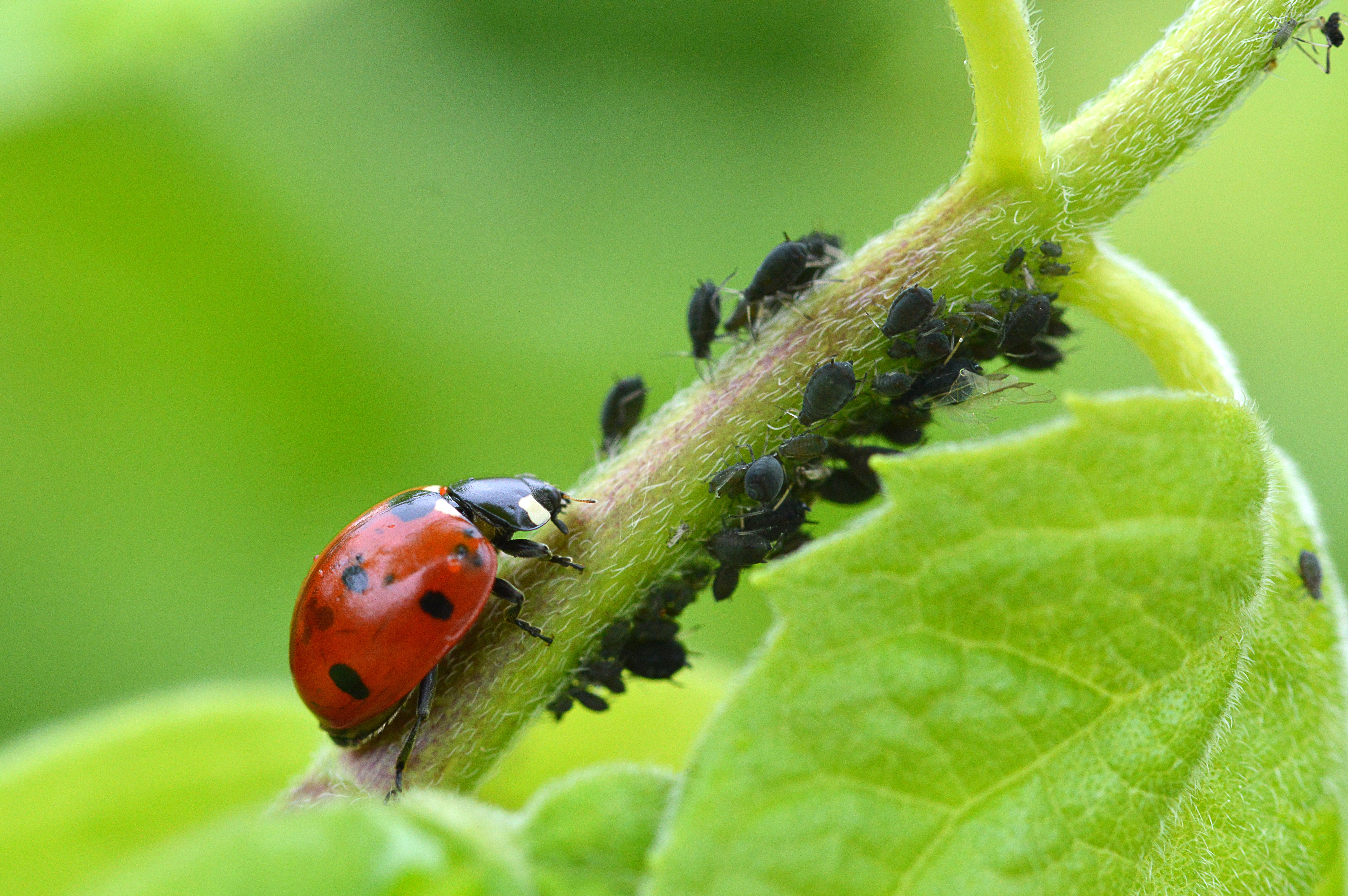 They spread on the breeze and tend to settle in sheltered sites – so gardens suffer disproportionately.