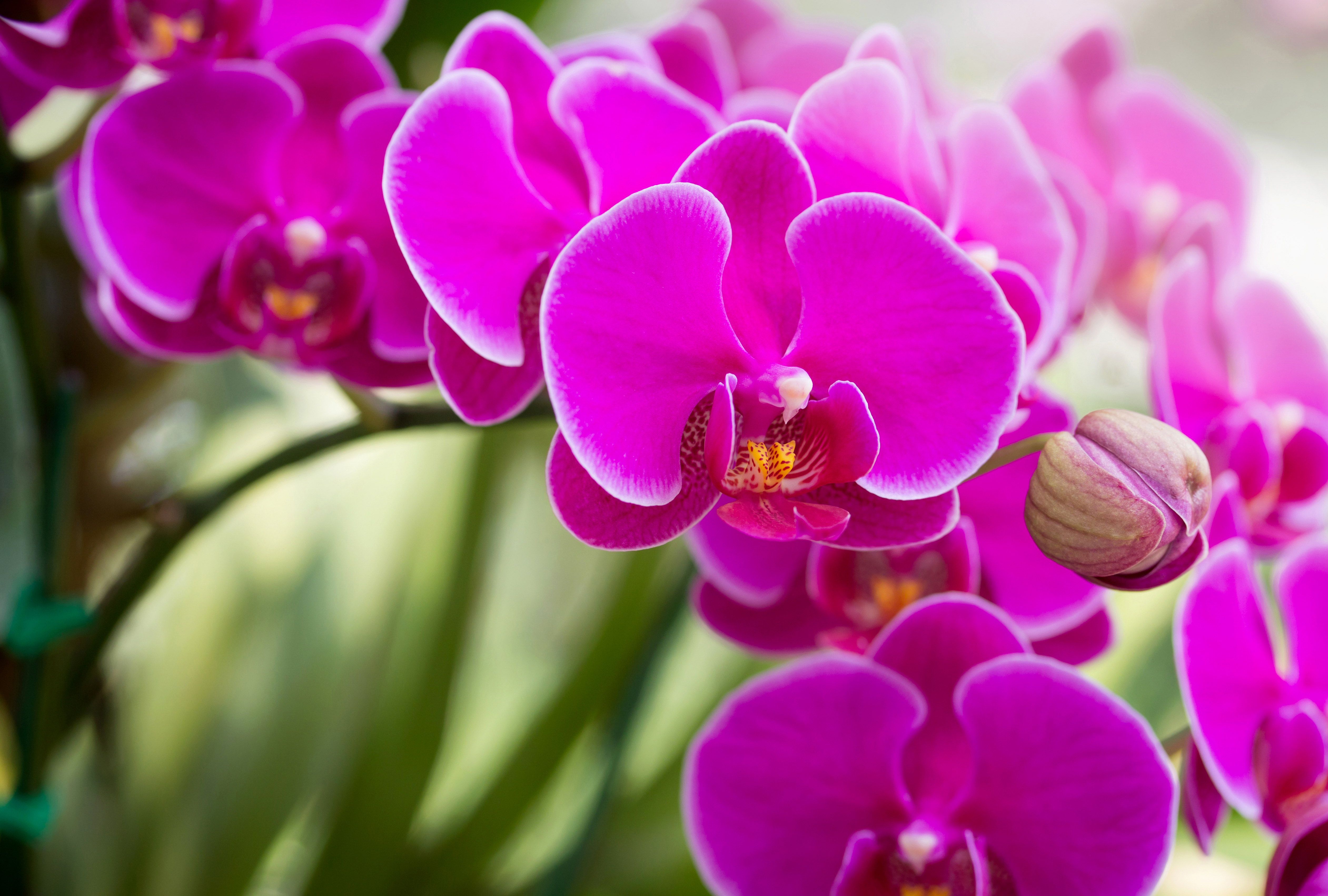 How to care for moth orchids phalaenopsis which How do you care for orchids after they bloom