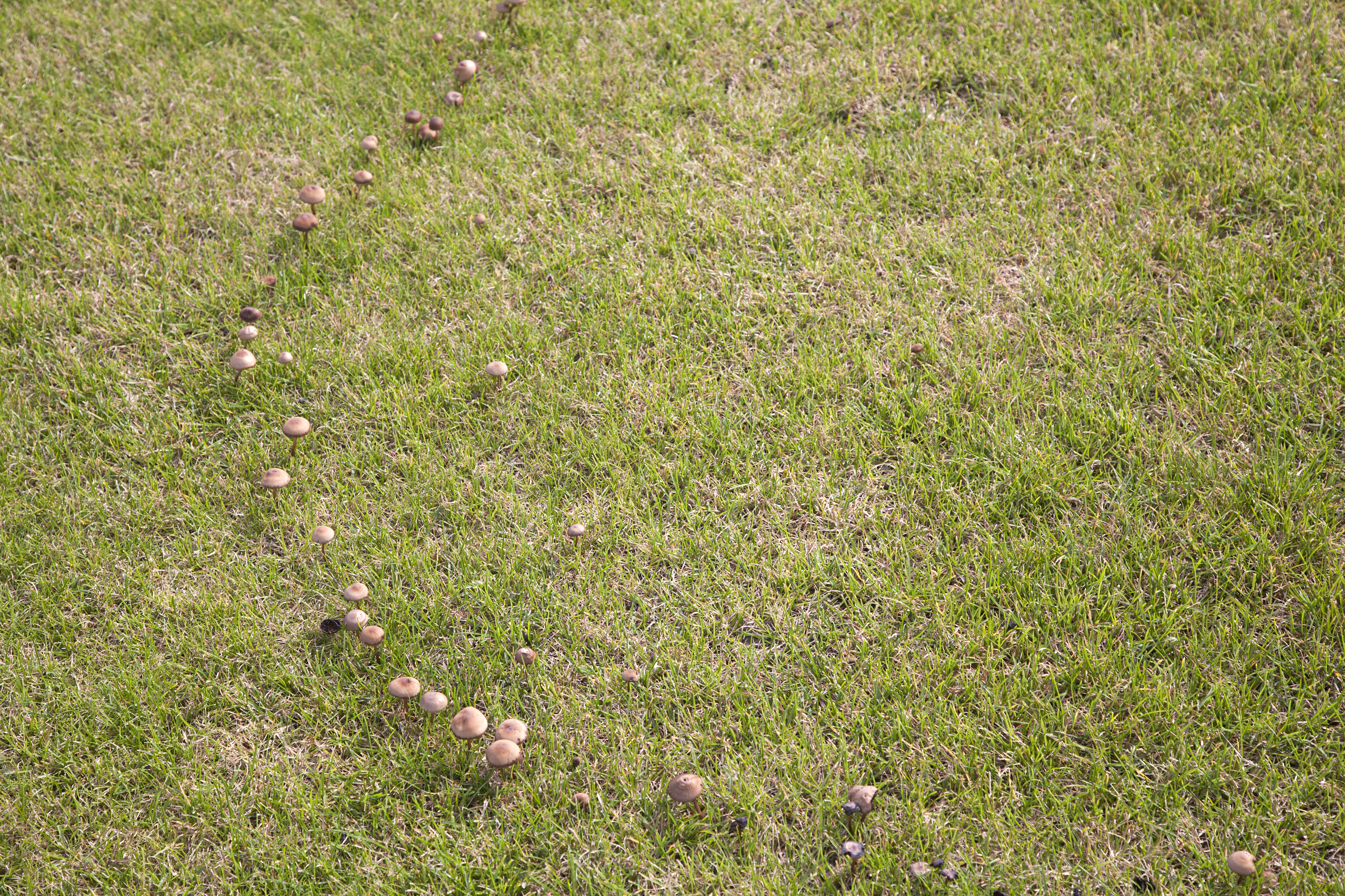 shaped dark circular on fairy ring lawn blog my green pacocha strange found colored disease rings