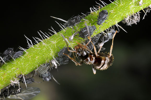 garden ants. Caption: Ants Farm Aphids So They Can Eat The Honeydew Excrete Garden