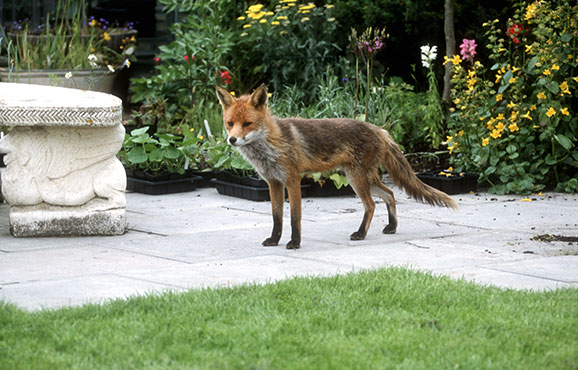 Territories may be occupied by a solitary adult fox, or a small family group made up of a breeding pair, their three to six cubs and related adults.