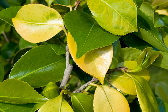Yellow leaves on camellia – Which? Gardening Helpdesk