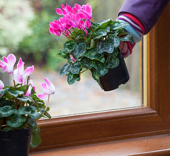 How to stop indoor cyclamen wilting – Which? Gardening Helpdesk House Plants Cyclamen Plant Care Questions on graptopetalum plant care, vriesea plant care, gloxinia plant care, osmanthus plant care, melampodium plant care, thunbergia plant care, ipomoea plant care, amorphophallus plant care, dicentra plant care, arum plant care, nierembergia plant care, moss plant care, senecio plant care, heuchera plant care, butterfly orchid plant care, lysimachia plant care, centaurea plant care, lamium plant care, doronicum plant care, sempervivum plant care,