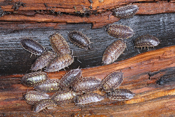what conditions do woodlice prefer